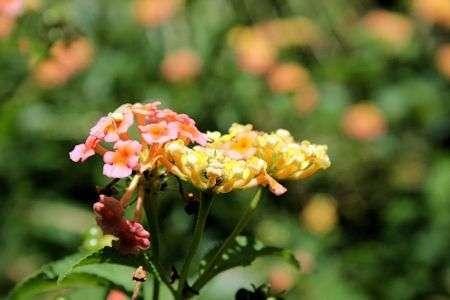 lantana in God's garden