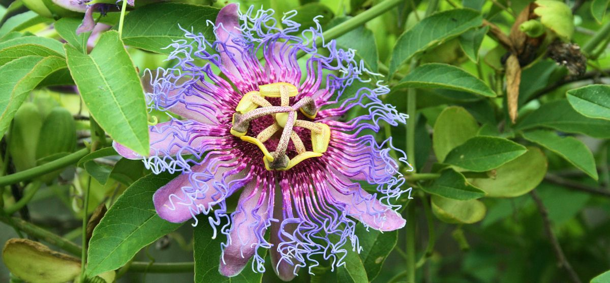 The passion flower is a unique gift from God to the world, like you